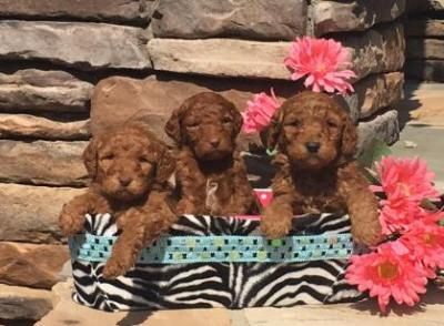 championsoftheheart,goldendoodle,goldendoodles,championsoftheheartgoldendoodles,goldendoodlepuppy,goldendoodlepuppies,georgiagoldendoodlesgeorgiagoldendoodle