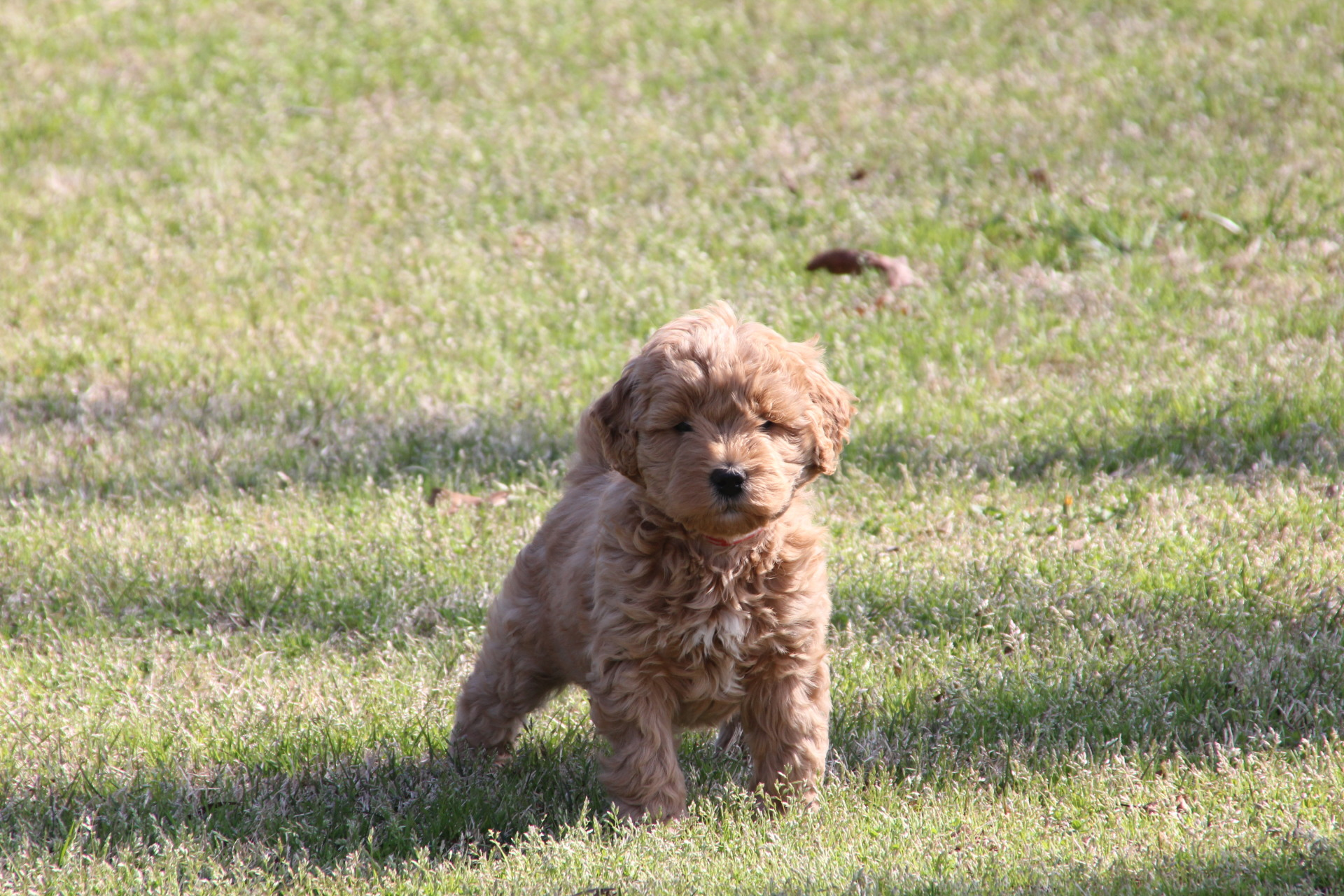 championsoftheheartgoldendoodles,goldendoodlepuppies,georgiagoldendoodles