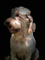 championsoftheheart,goldendoodles,goldendoodlepuppies,goldendoodlepuppy,georgiagoldendoodles