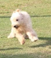 championsoftheheart,goldendoodles,goldendoodlepuppies,goldendoodlepuppy,georgiagoldendoodle,georgiagoldendoodles,championsoftheheartgoldendoodles,springerdoodles,springerdoodlepuppies,springerdoodlepuppy, springerdoodlegeorgia,georgiaspringerdoodle