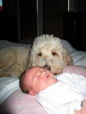 goldendoodles,goldendoodlepuppies,goldendoodlepuppy,championsoftheheart,georgiagoldendoodles