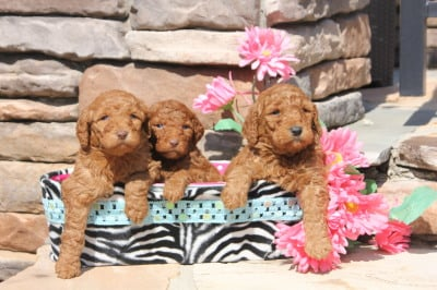 Goldendoodle, Sheepadoodle, Bernedoodle puppies raised at