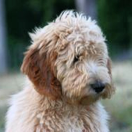 championsoftheheart,goldendoodles,goldendoodlepuppies,goldendoodlepuppy,georgiagoldendoodle,championsoftheheartgoldendoodles